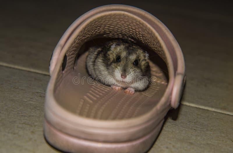 Grijze hamster in hoed stock afbeelding