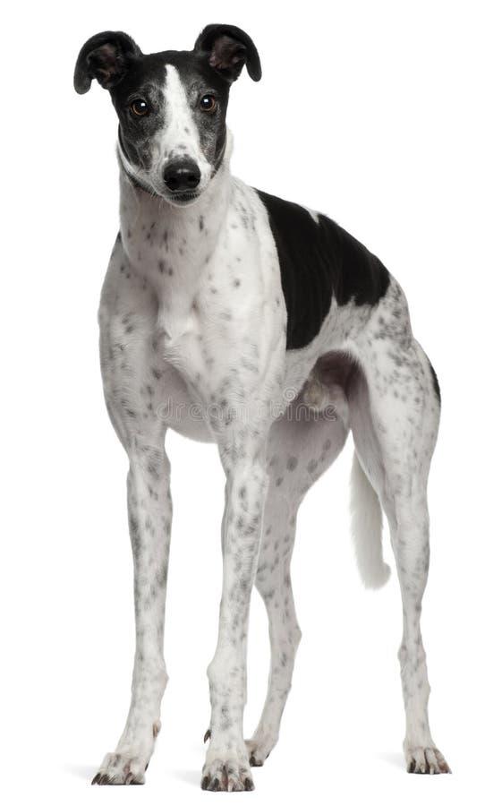 Grijze Hond, 4 jaar oud, status stock foto