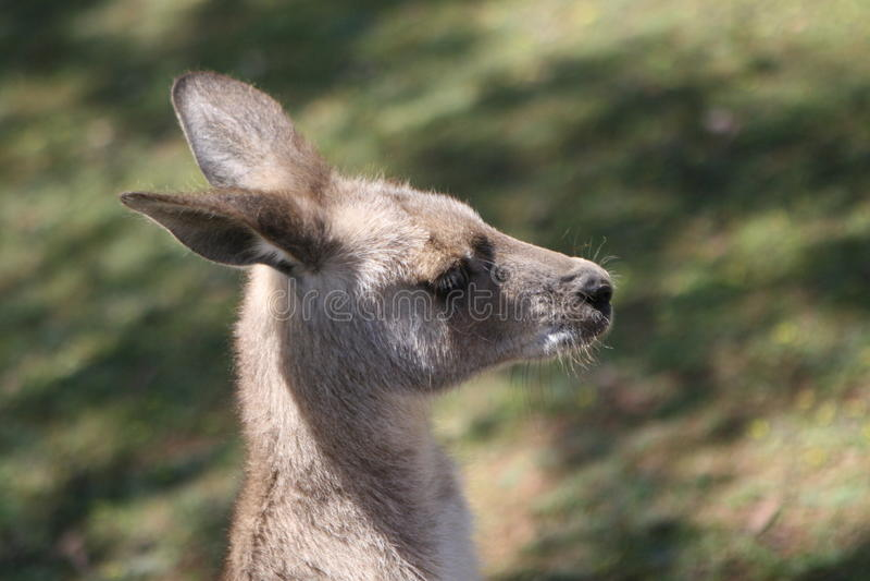 Grijze Kangoeroe royalty-vrije stock afbeelding