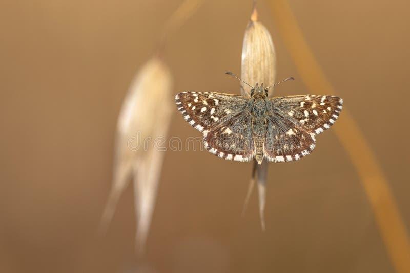 Grijze Kapiteinsvlinder die (Pyrgus-malvae) op Gras Spik rusten stock afbeeldingen