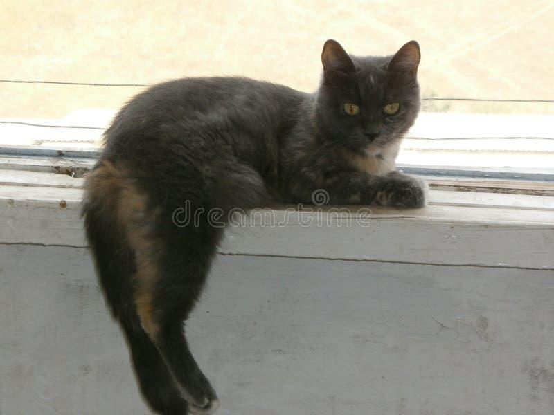 Grijze kat Alisa royalty-vrije stock afbeeldingen