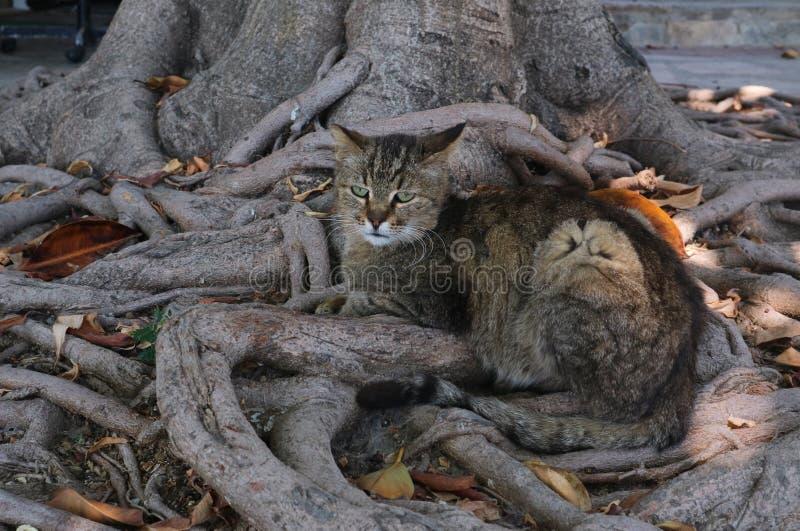 Grijze kat die in boomwortels rusten royalty-vrije stock fotografie