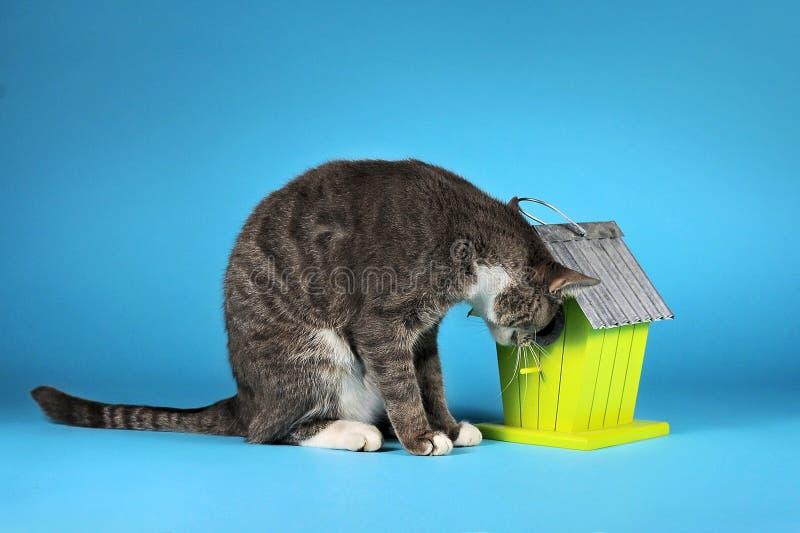 Grijze kat die vogelhuis op blauwe achtergrond onderzoeken royalty-vrije stock fotografie