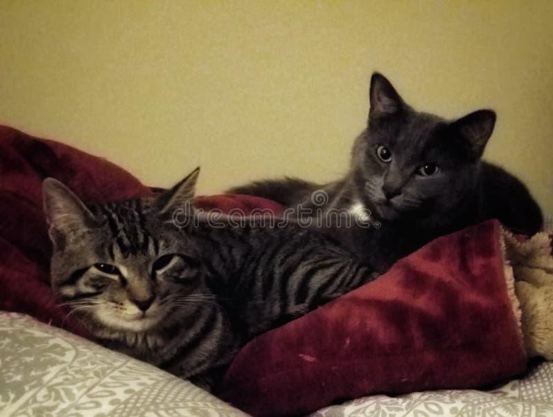 Grijze kat en gestreepte katkat stock afbeelding