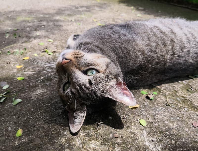 Grijze kat met aquaogen die van een zonnige dag genieten royalty-vrije stock foto's