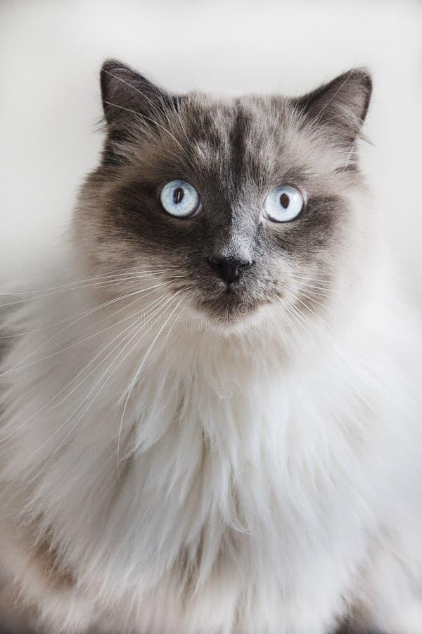 Grijze kat met blauwe ogen royalty-vrije stock afbeelding