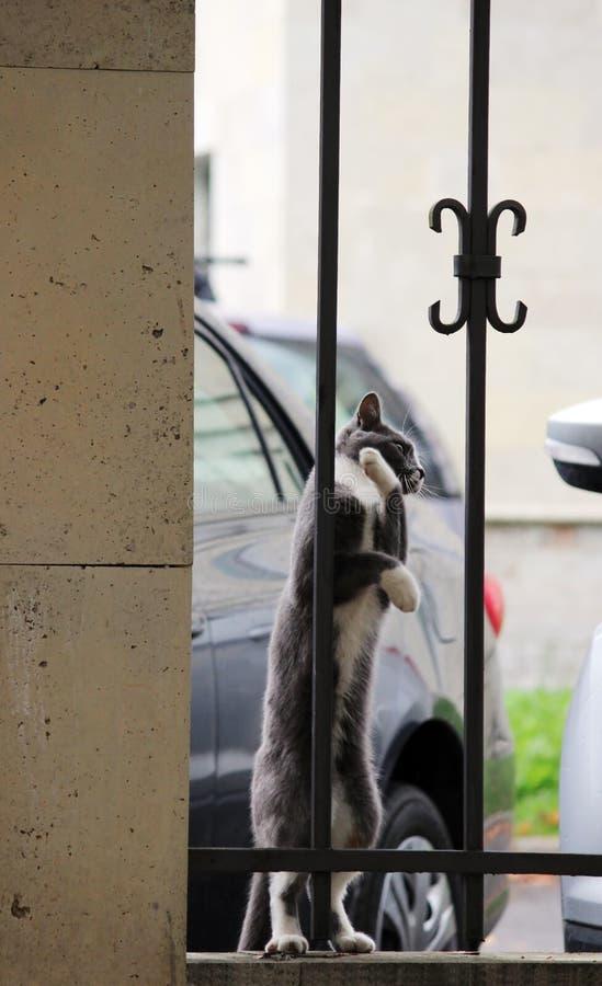grijze kat met witte poten die traliewerk koesteren die enthousiast vogel bekijken royalty-vrije stock foto