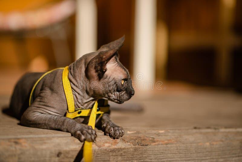 Grijze kat op een leiband Grijze kat die op een houten vloer liggen Gele leiband Horizontale mening copyspace royalty-vrije stock afbeelding