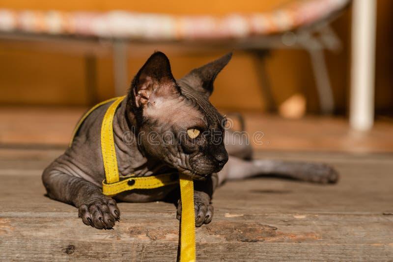 Grijze kat op een leiband Grijze kat die op een houten vloer liggen Gele leiband Horizontale mening copyspace stock foto