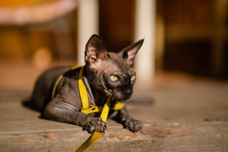Grijze kat op een leiband Grijze kat die op een houten vloer liggen Gele leiband Horizontale mening copyspace royalty-vrije stock fotografie