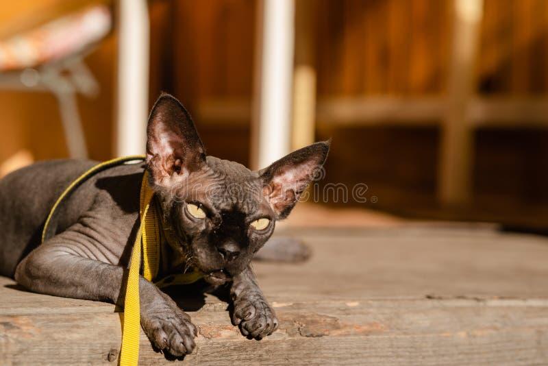 Grijze kat op een leiband Grijze kat die op een houten vloer liggen Gele leiband Horizontale mening copyspace stock foto's