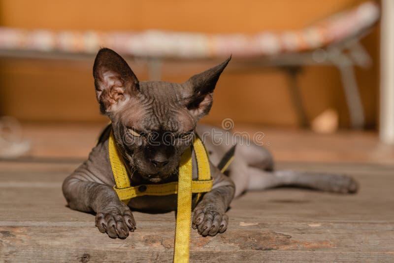 Grijze kat op een leiband Grijze kat die op een houten vloer liggen Gele leiband Horizontale mening copyspace royalty-vrije stock foto's
