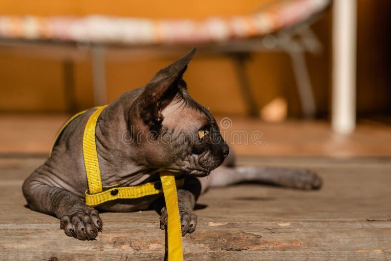 Grijze kat op een leiband Grijze kat die op een houten vloer liggen Gele leiband Horizontale mening copyspace royalty-vrije stock afbeeldingen