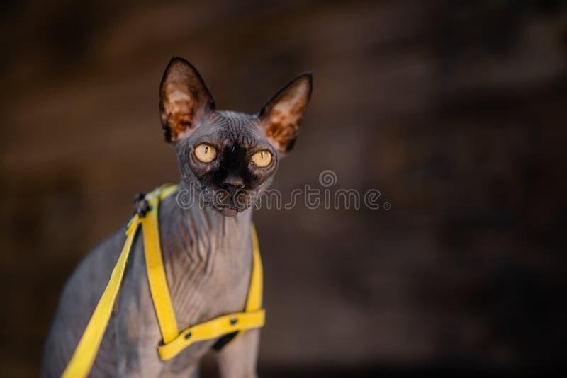 Grijze kat op een leiband Grijze kat die op een houten vloer liggen Gele leiband Horizontale mening copyspace stock afbeelding