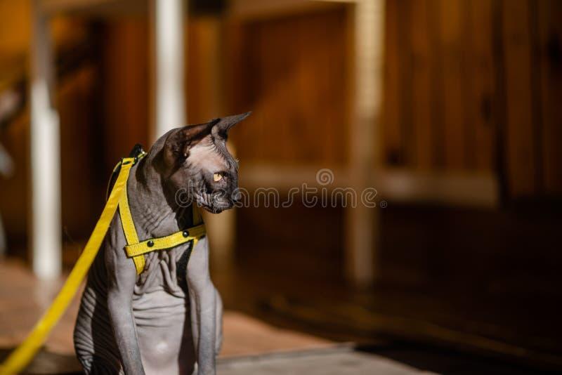 Grijze kat op een leiband Grijze kat die op een houten vloer liggen Gele leiband Horizontale mening copyspace stock afbeeldingen