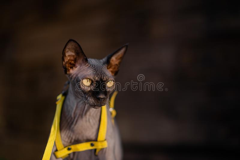 Grijze kat op een leiband Grijze kat die op een houten vloer liggen Gele leiband Horizontale mening copyspace royalty-vrije stock foto