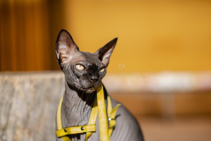 Grijze kat op een leiband Grijze kat die op een houten vloer liggen Gele leiband Horizontale mening copyspace stock fotografie