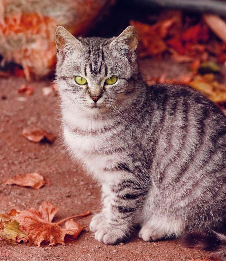 Grijze kat op rode de herfst dichte omhooggaande mening als achtergrond Groen-eyed Kat royalty-vrije stock fotografie