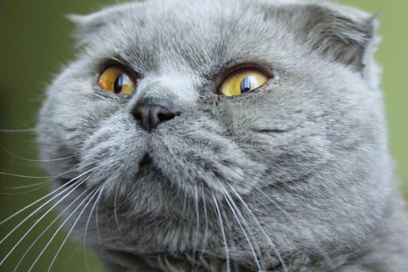Grijze kat Schot stock afbeelding