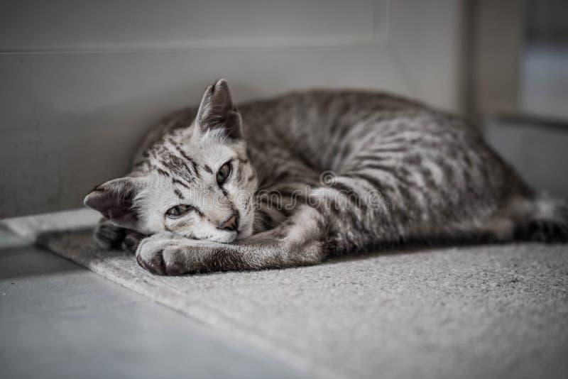 Grijze kat slaapt in zacht tapijt royalty-vrije stock foto's