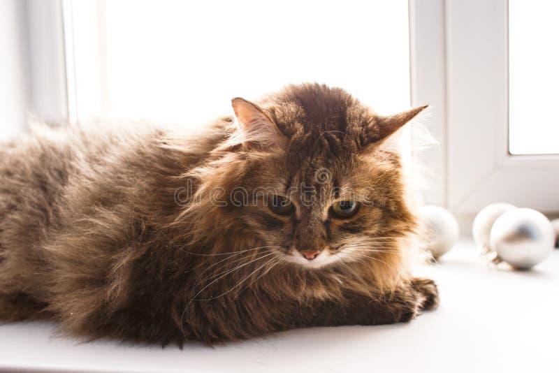 Grijze kat van Britse rassenzitting op een witte vensterbank royalty-vrije stock afbeelding