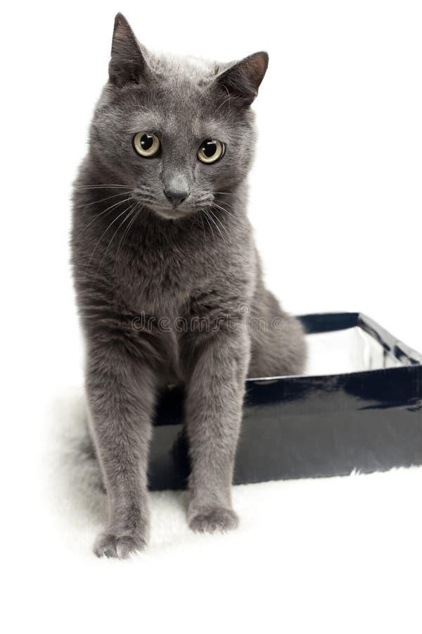 Grijze kattenzitting in de doos met grappige uitdrukking stock fotografie