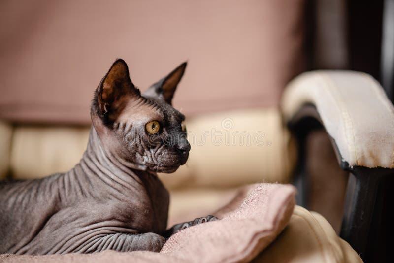 Grijze kattenzitting in een leunstoel Canadese spynx gewaagde kat die rust Horizontale hoogste mening hebben copyspace royalty-vrije stock fotografie