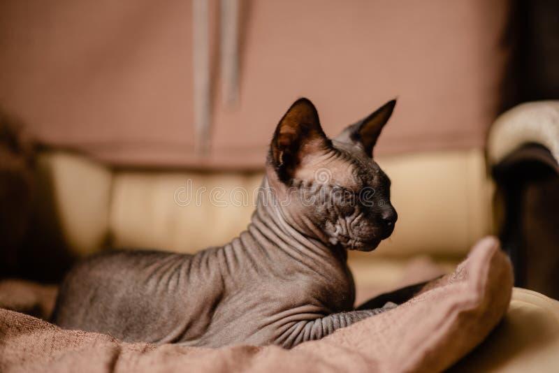 Grijze kattenzitting in een leunstoel Canadese spynx gewaagde kat die rust Horizontale hoogste mening hebben copyspace royalty-vrije stock afbeelding