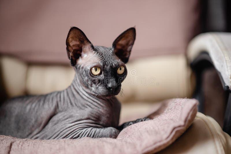 Grijze kattenzitting in een leunstoel Canadese spynx gewaagde kat die rust Horizontale hoogste mening hebben copyspace stock foto