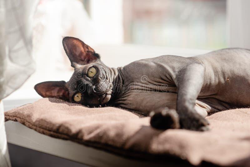 Grijze kattenzitting in een leunstoel Canadese spynx gewaagde kat die rust Horizontale hoogste mening hebben copyspace stock afbeeldingen