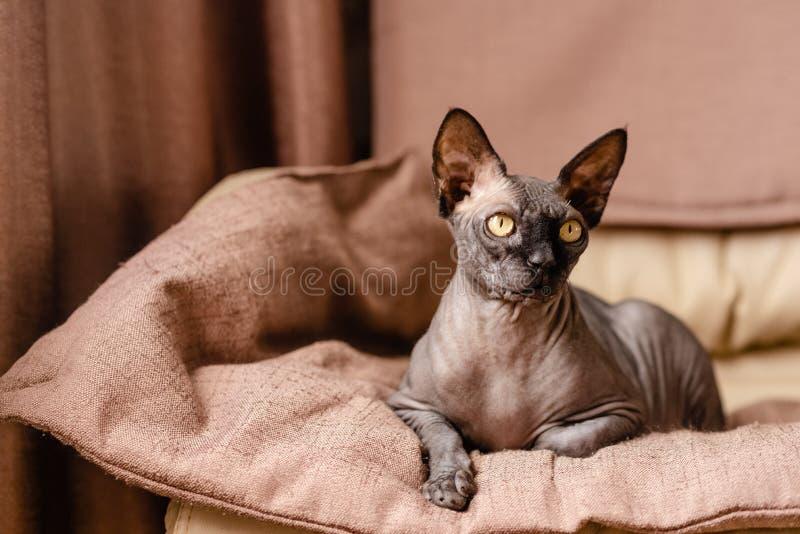 Grijze kattenzitting in een leunstoel Canadese spynx gewaagde kat die rust Horizontale hoogste mening hebben copyspace royalty-vrije stock foto