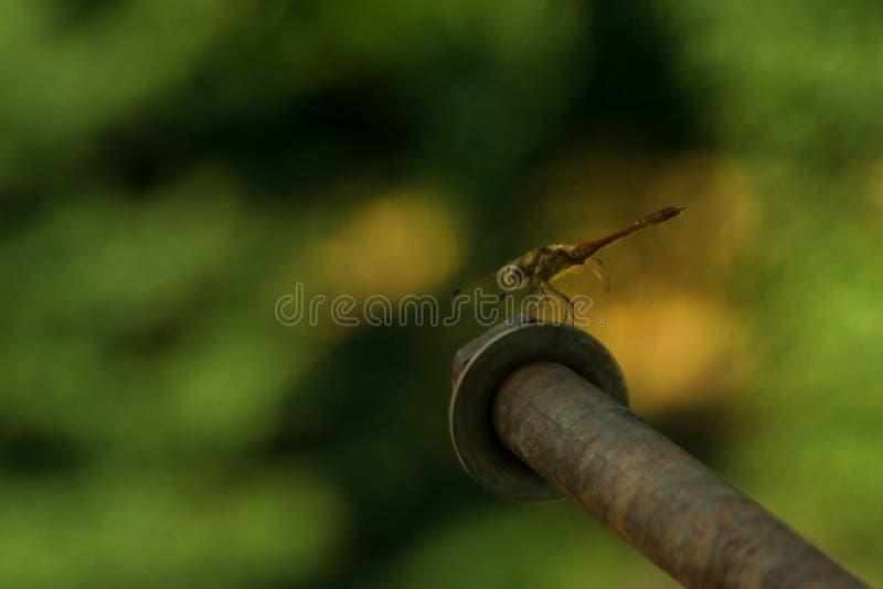 Grijze libellen zitten op een prachtig vervaagde groene achtergrond macrofotografie portret van insect entomologie, entomoloog stock afbeeldingen