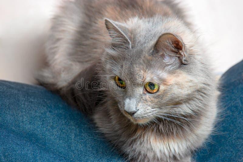 Grijze luie kat die op jeansslijtage liggen royalty-vrije stock fotografie