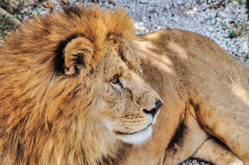 Grijze mannelijke leeuw stock foto's