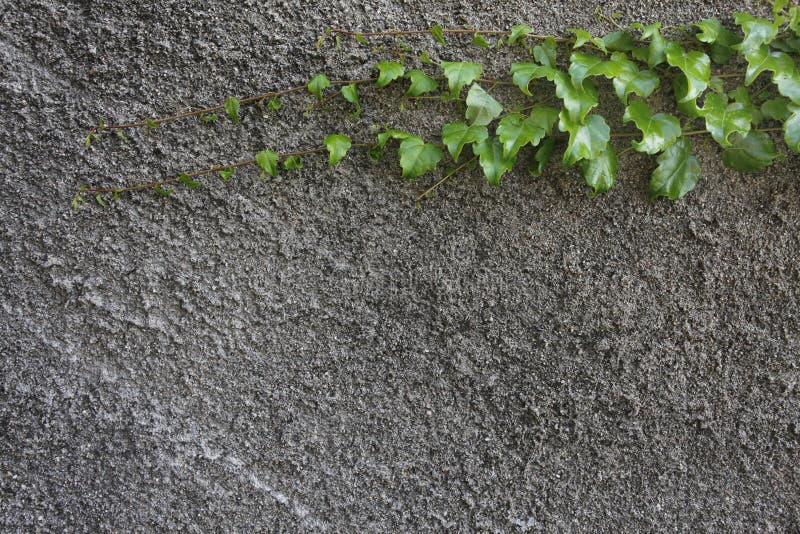 Grijze muur met het beklimmen van bladeren stock fotografie