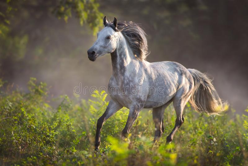 Grijze paard vrije looppas stock afbeeldingen