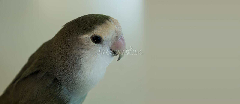 Grijze papegaai royalty-vrije stock fotografie