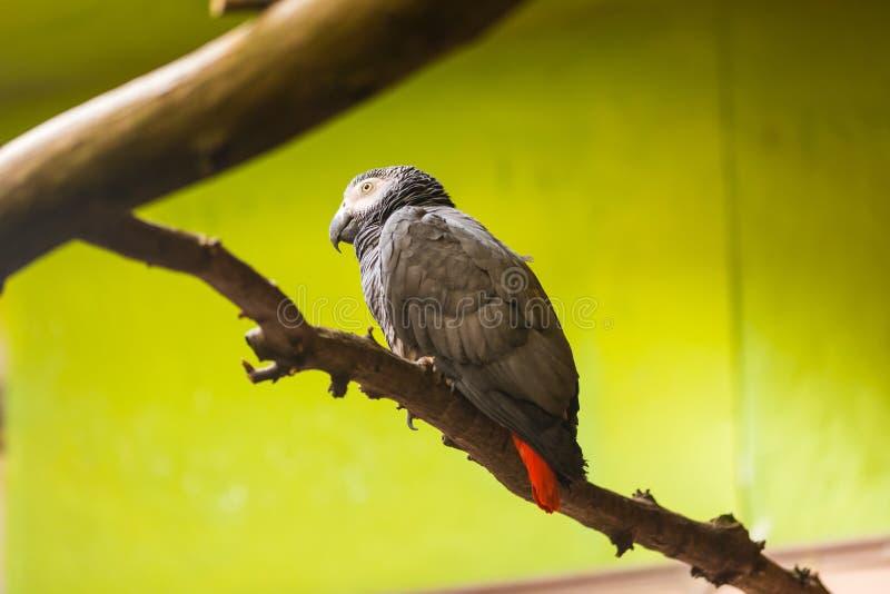 Grijze papegaai Latijnse naam Psittacus Erithacus op de houten tak Jonge papegaai, groene achtergrond Afrikaans dier royalty-vrije stock foto's
