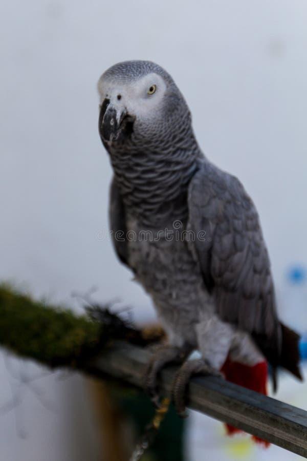 Grijze papegaai - psittacuserithacus - beeld - foto stock foto's