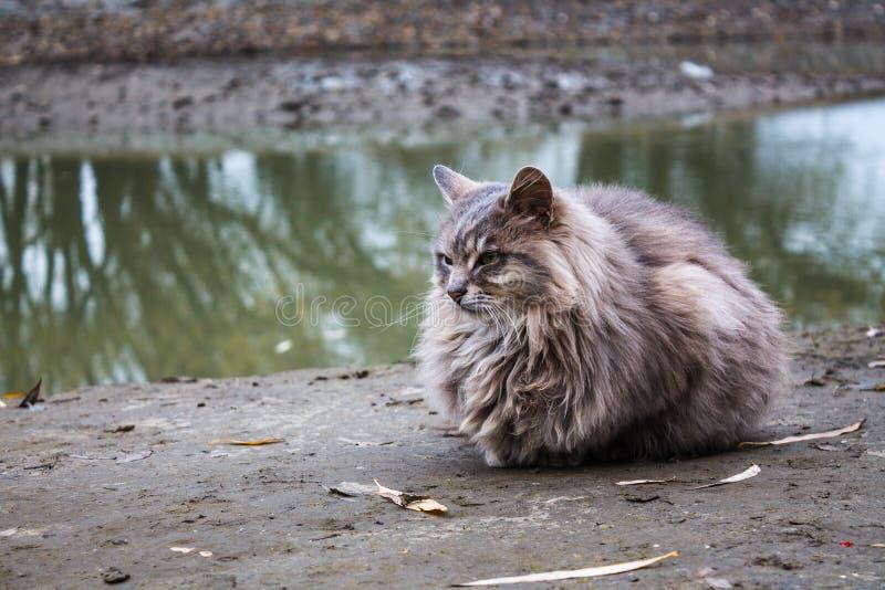 Grijze pluizige kat op de rivierbank stock fotografie