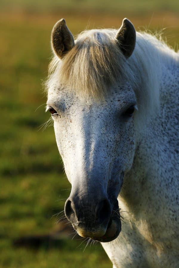 Grijze poney het zwerven wildernis op Dartmoor royalty-vrije stock afbeeldingen
