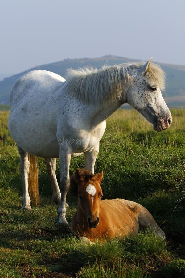 Grijze poneyveulen het zwerven wildernis op Dartmoor stock foto's