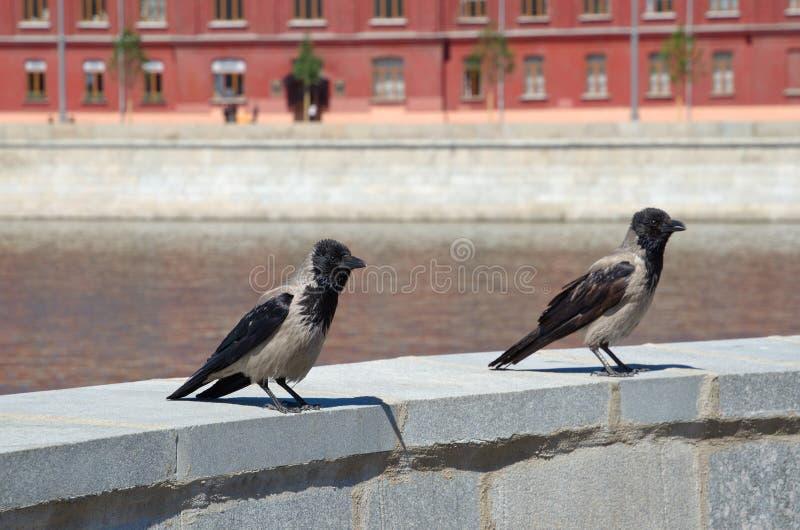 Grijze raven lat De zitting van Corvuscornix op de verschansing dichtbij de rivier stock afbeeldingen