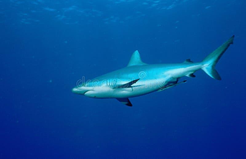 Grijze Reefshark royalty-vrije stock fotografie