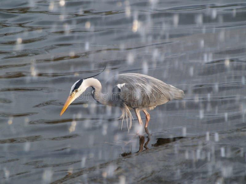Grijze reiger die onder waterval vissen royalty-vrije stock foto's