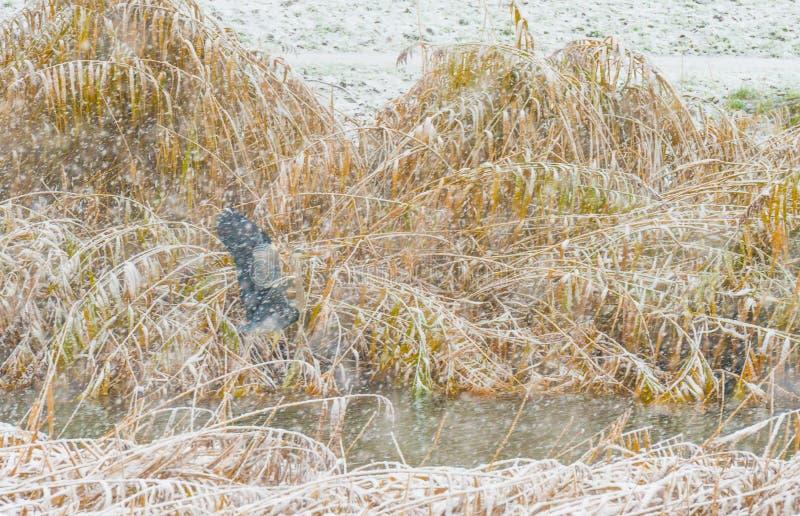 Grijze reiger langs een sneeuwrivier stock foto's