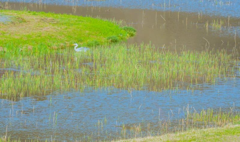 Grijze reiger in vijver met groen waterriet stock foto
