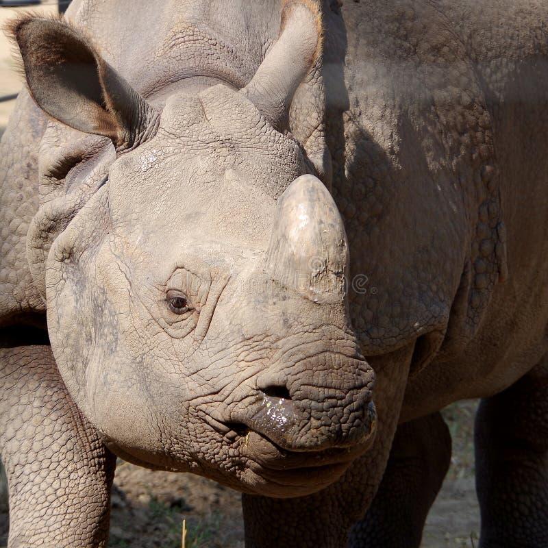 Grijze rinoceros in gevangenschap royalty-vrije stock foto's