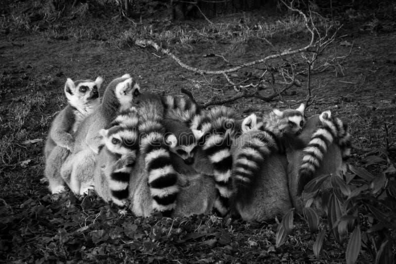Grijze schaal van Lemur royalty-vrije stock afbeeldingen