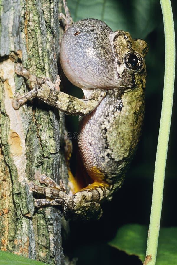 Grijze Treefrog stock afbeelding